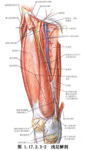 中动脉中静脉的组织结构图